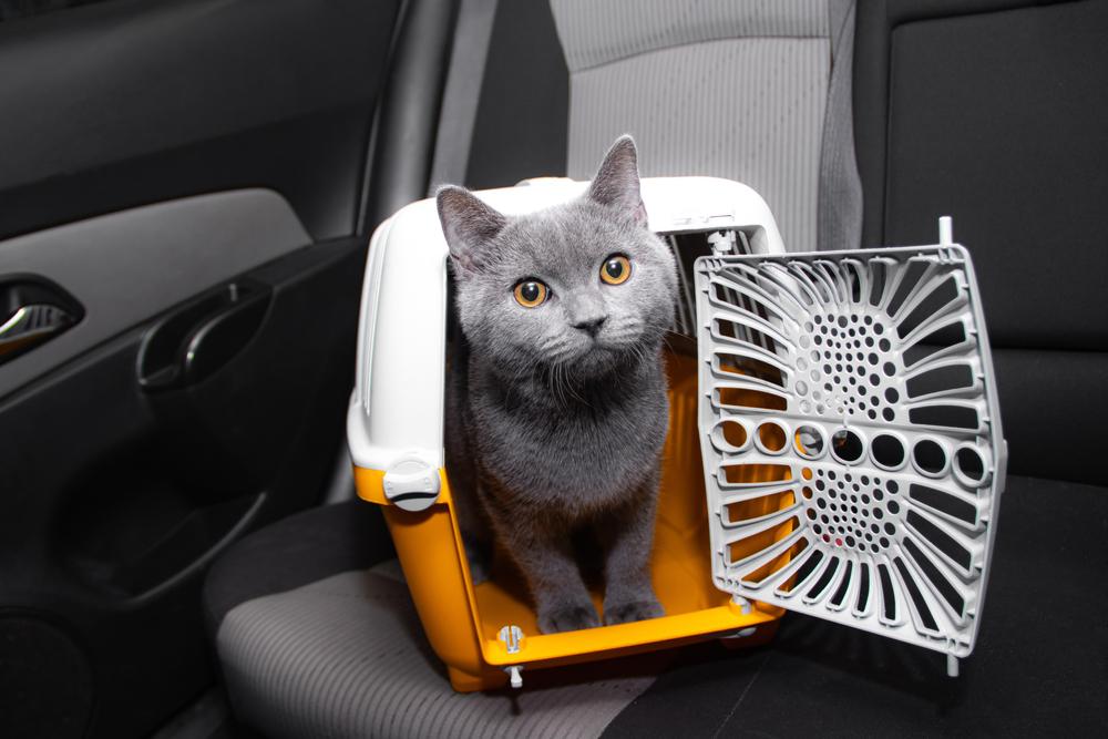 cat inside carrier traveling in car